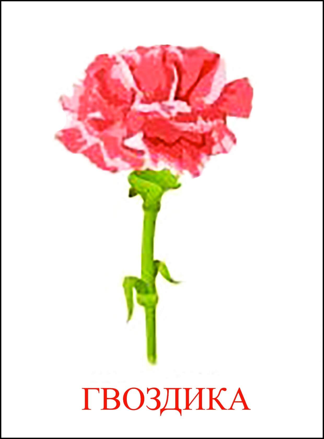 Картинки цветка гвоздика для детей