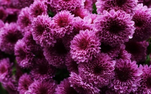 Лат. Chrysanthemum